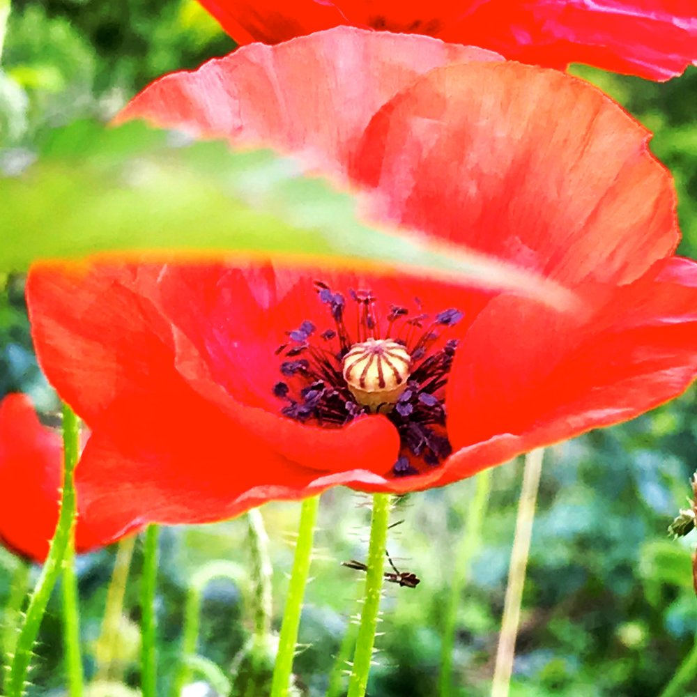 Poppy, Saint Vincent de Durfort