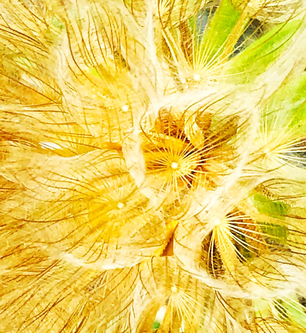 Yellow Goatsbeard by the Railroad, gone to seed