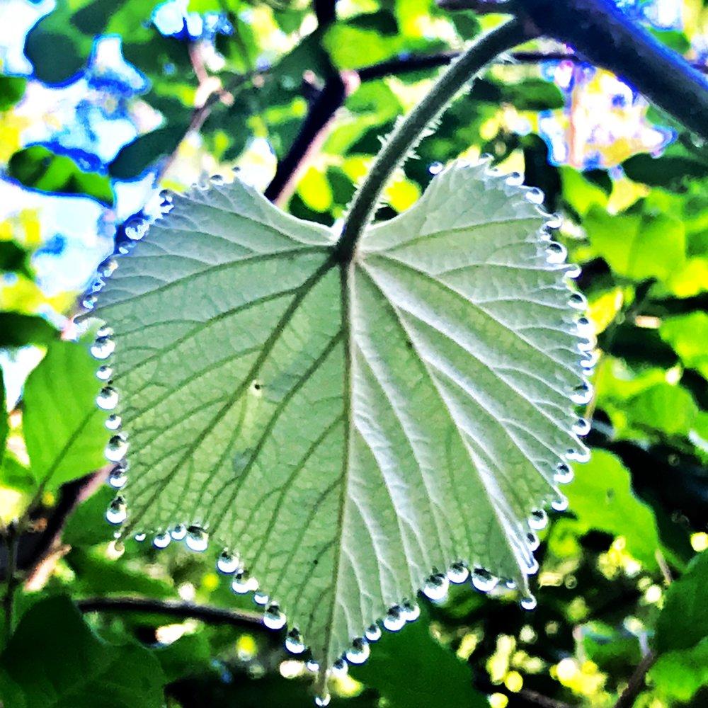 grape leaf in june dew.JPG