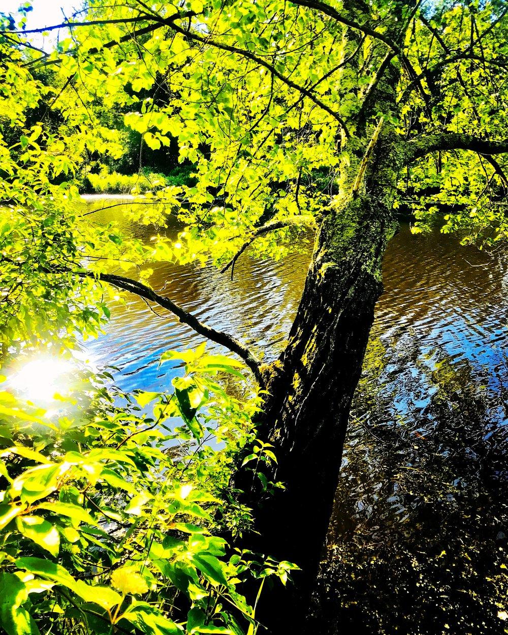 river tree.JPG