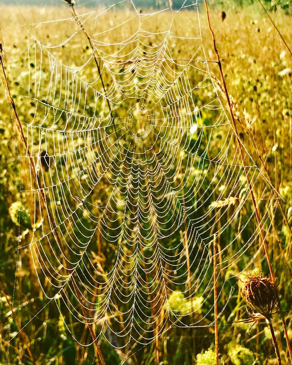 Morning Meadow Web