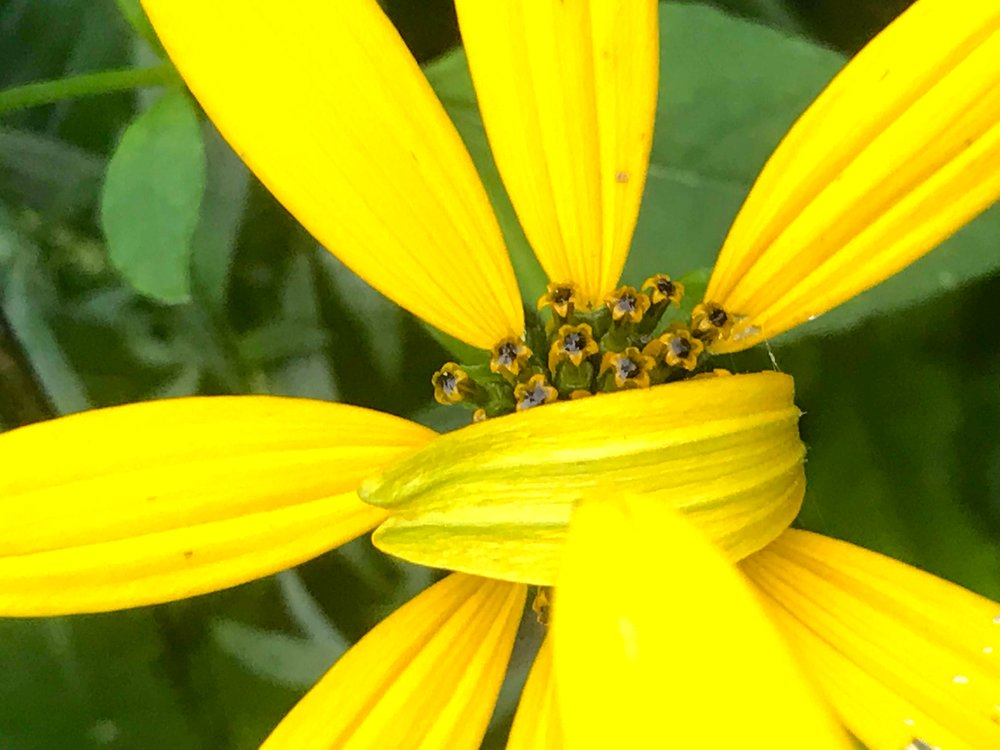 yellow flower shy.jpg
