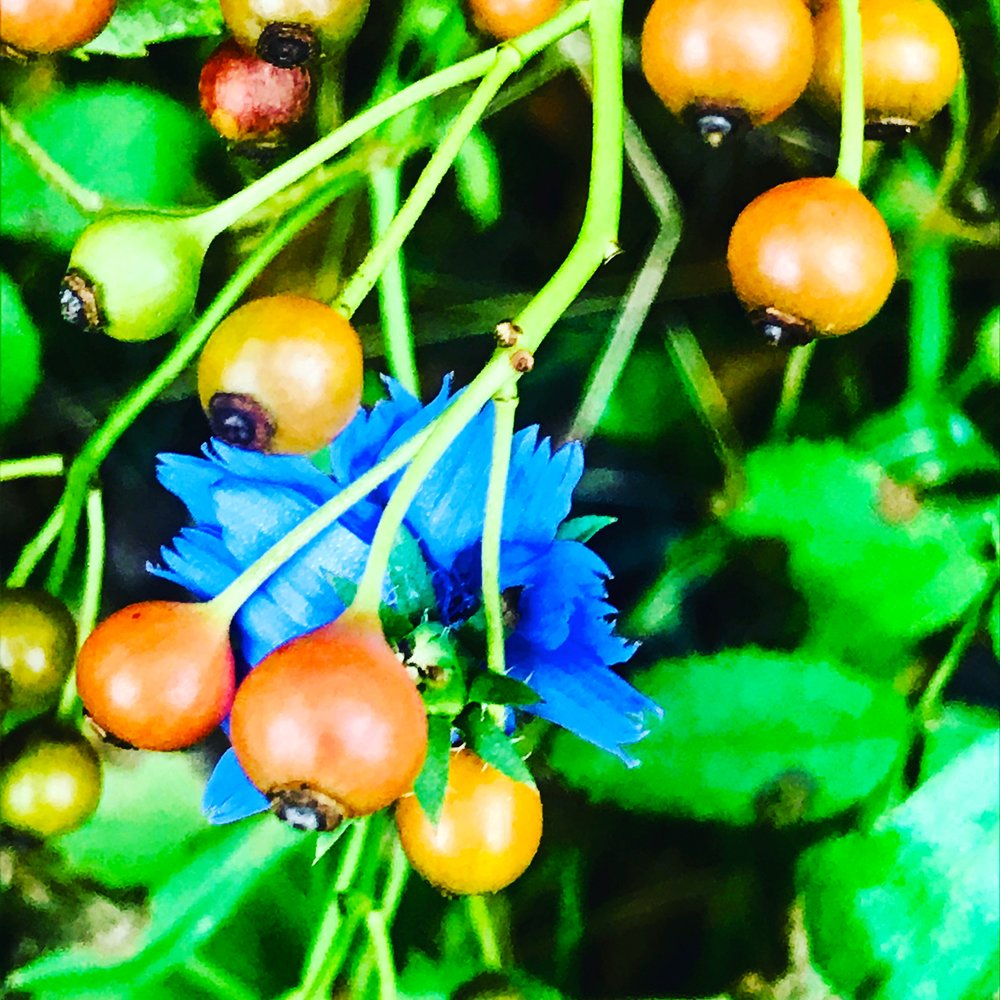 Chicory, Autumn Woods