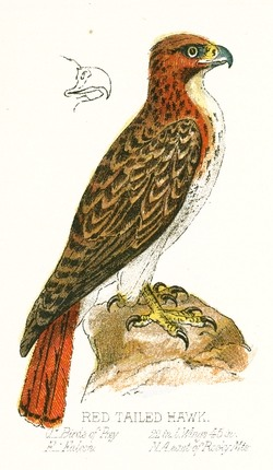 Red_Tailed_Hawk_Drawing.jpg