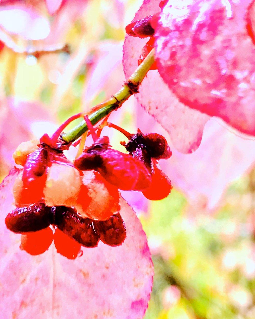 pink delicate berry vine.JPG