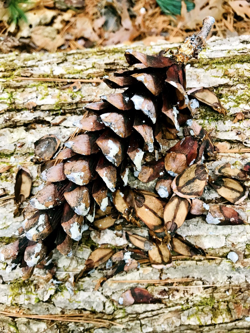 Who eats the pine cones?