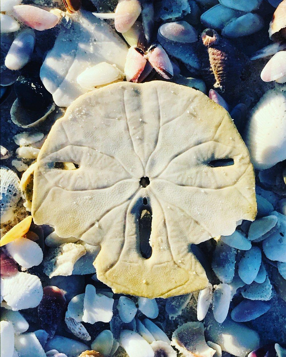 Sand Dollar Face