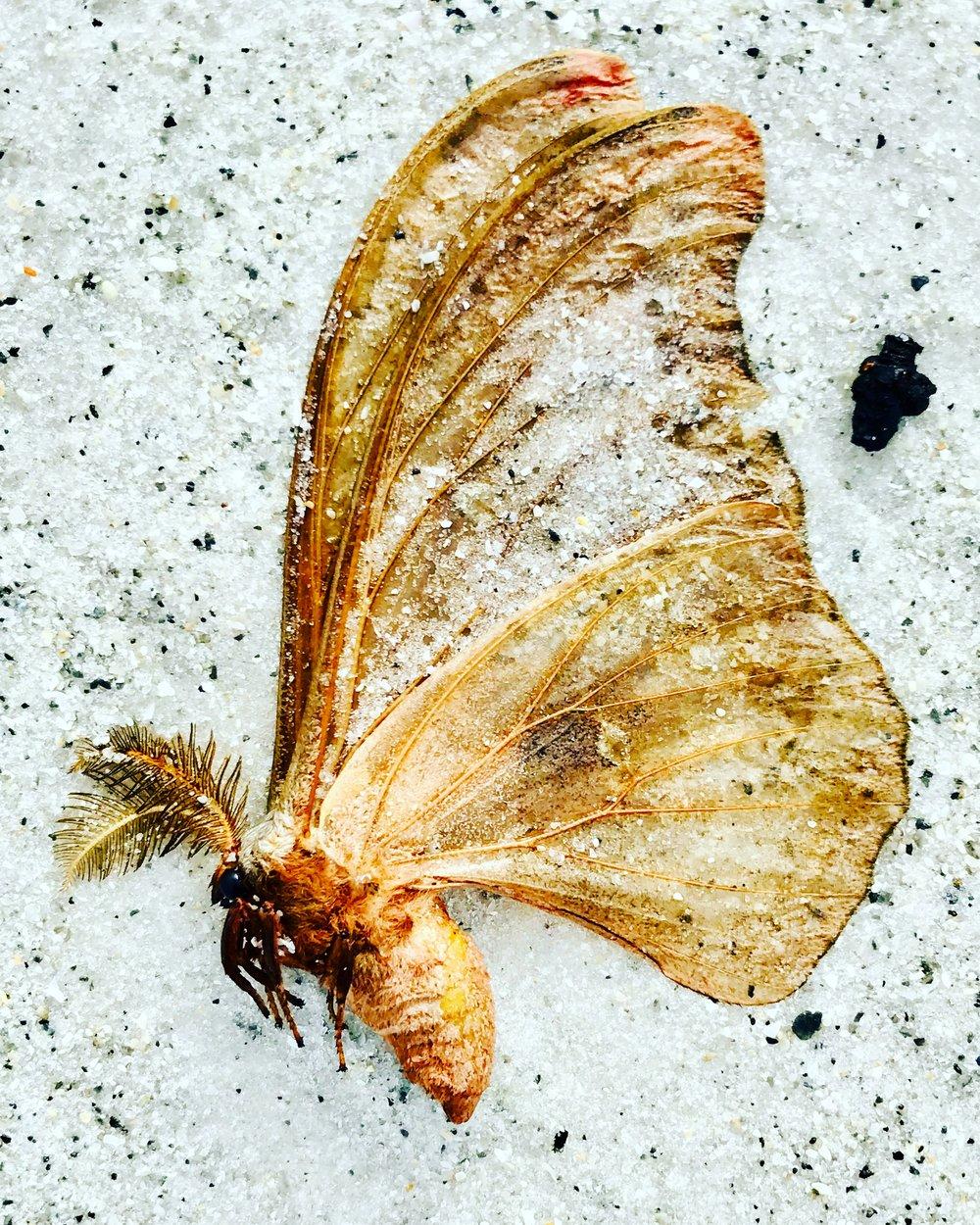 Polyphemus Moth (?)