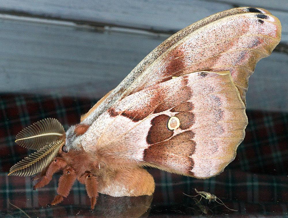 https://www.butterfliesandmoths.org/species/Antheraea-polyphemus
