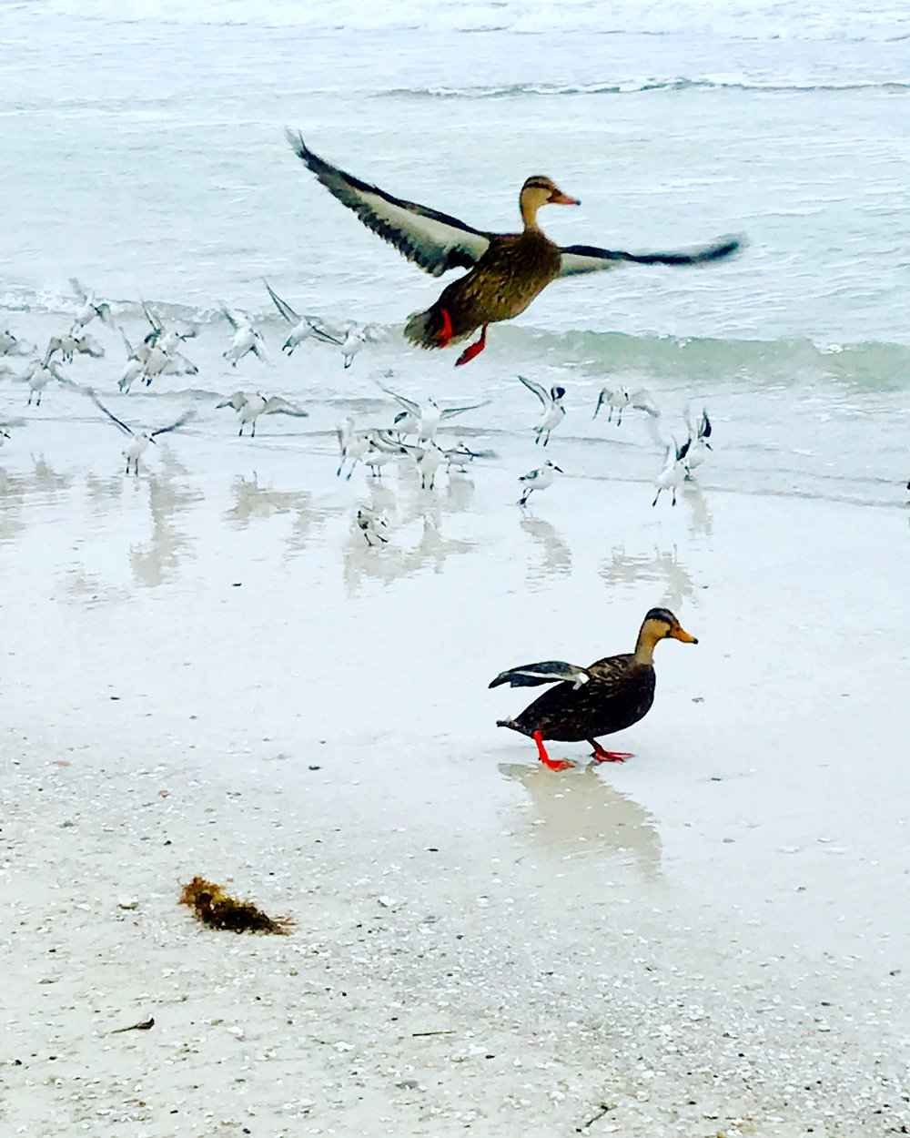 Beach Ducks