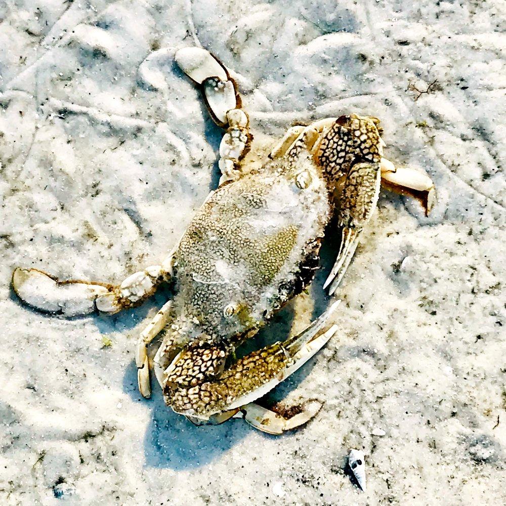 Live Crab, Low Tide