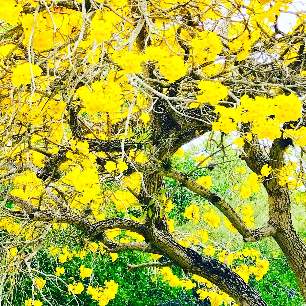 Cassia tree in bloom in our yard