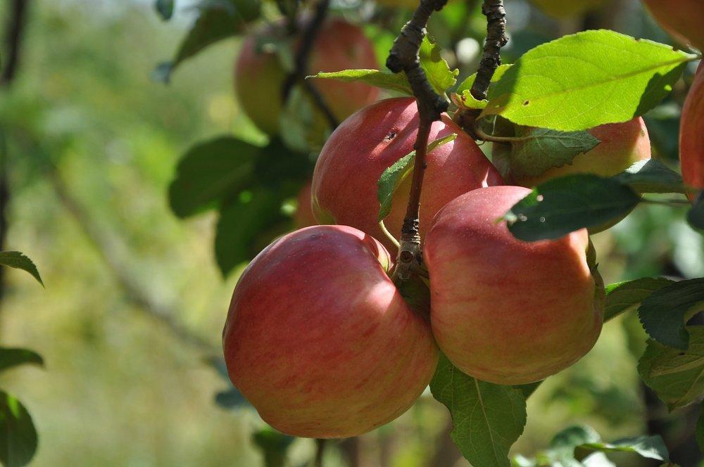 apple-tree-1262424_1280.jpg