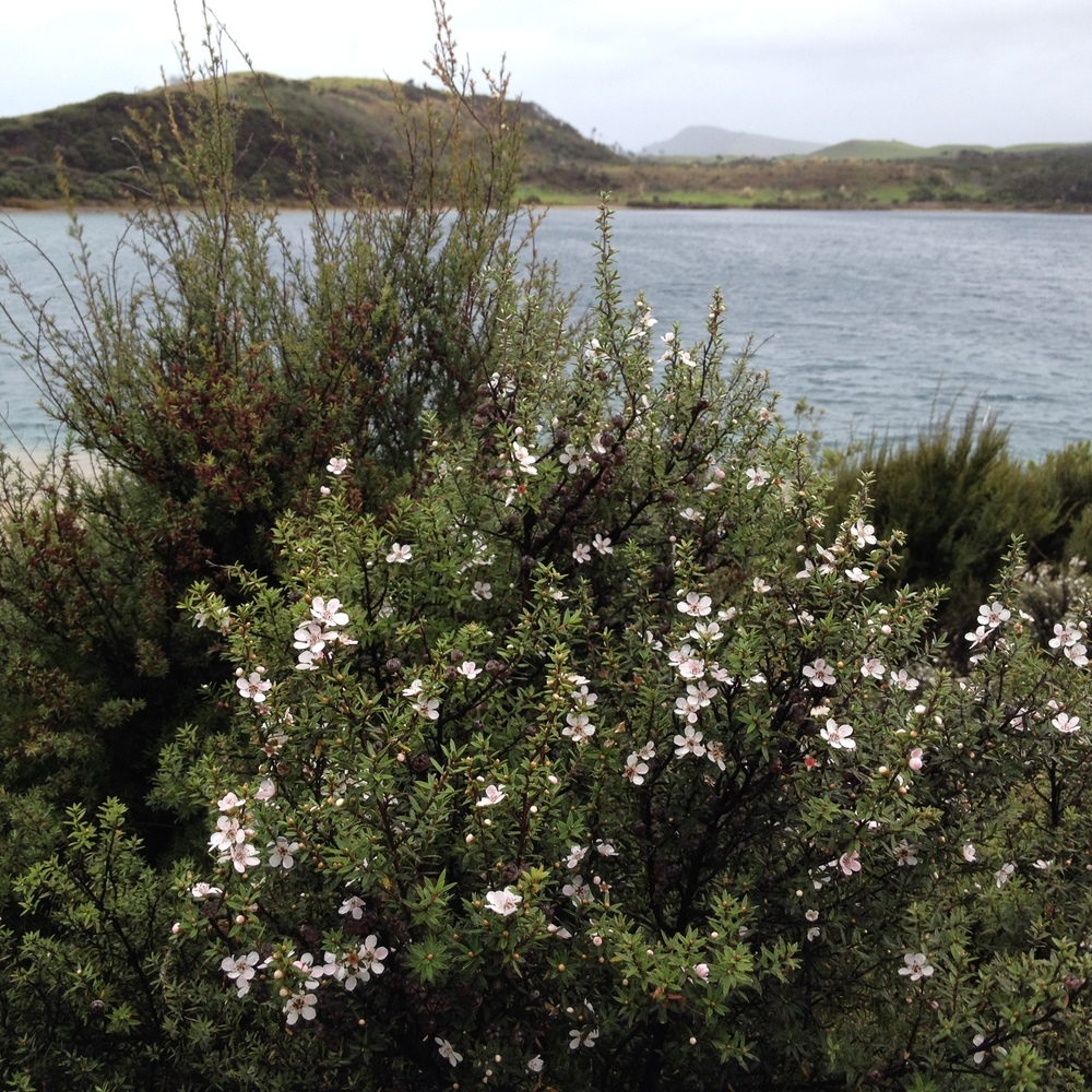 Manuka flowering in the middle of winter