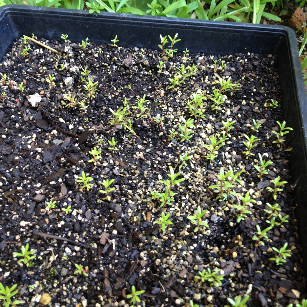 Manuka seedlings