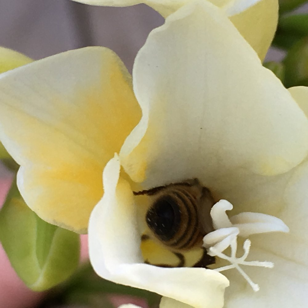 a winter bee deep in a freesia