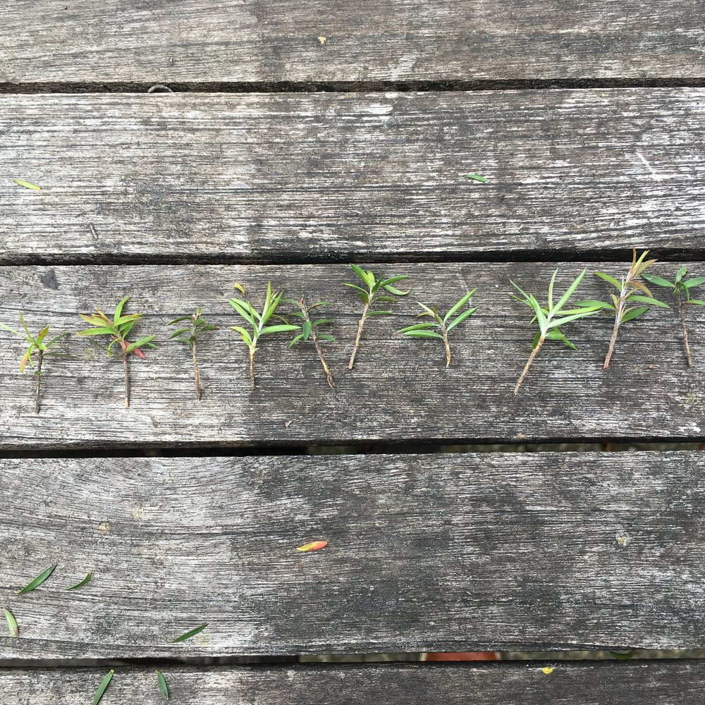 tiny spring cuttings of manuka