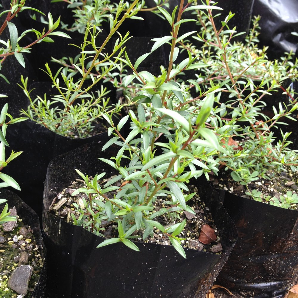 manuka seedlings growing fast