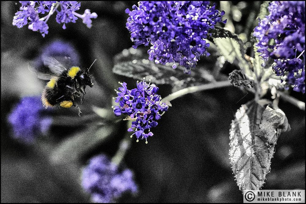 Bee & Ceanothus, Wilmslow, 2016