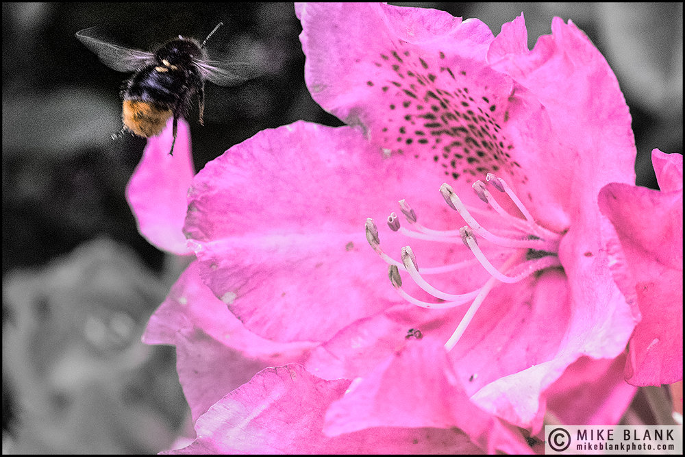 Bee & rhododendron #2, London 2016