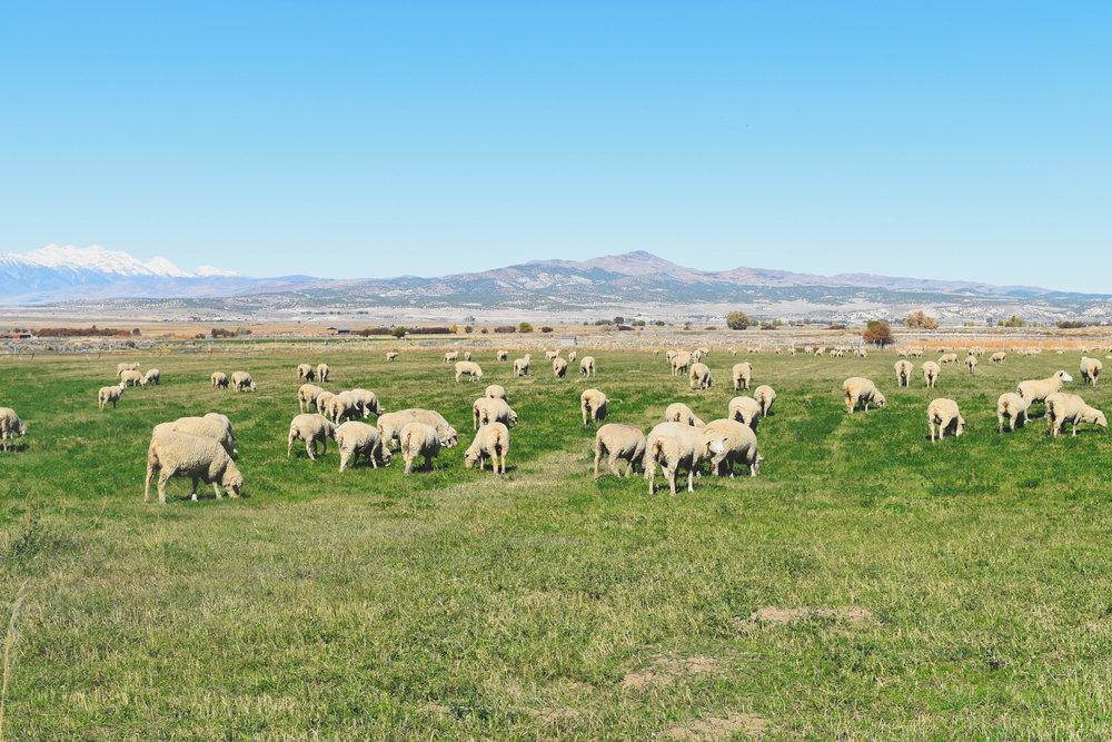 Spring City Sheep.jpg