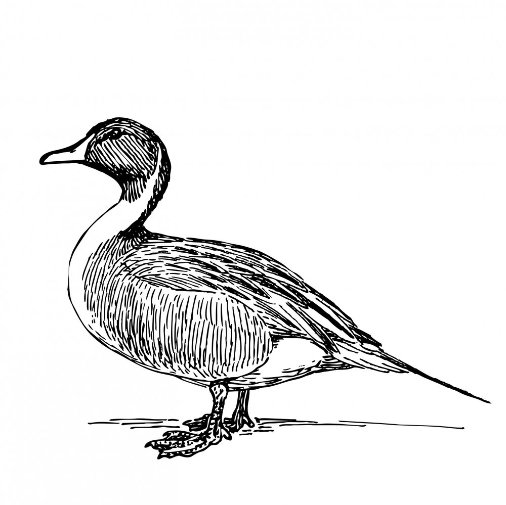 duck-illustration-clipart.jpg
