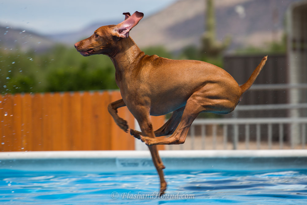 Outdoor action pet photography - Vizsla dock diving - Water Ballet (Scottsdale, AZ)