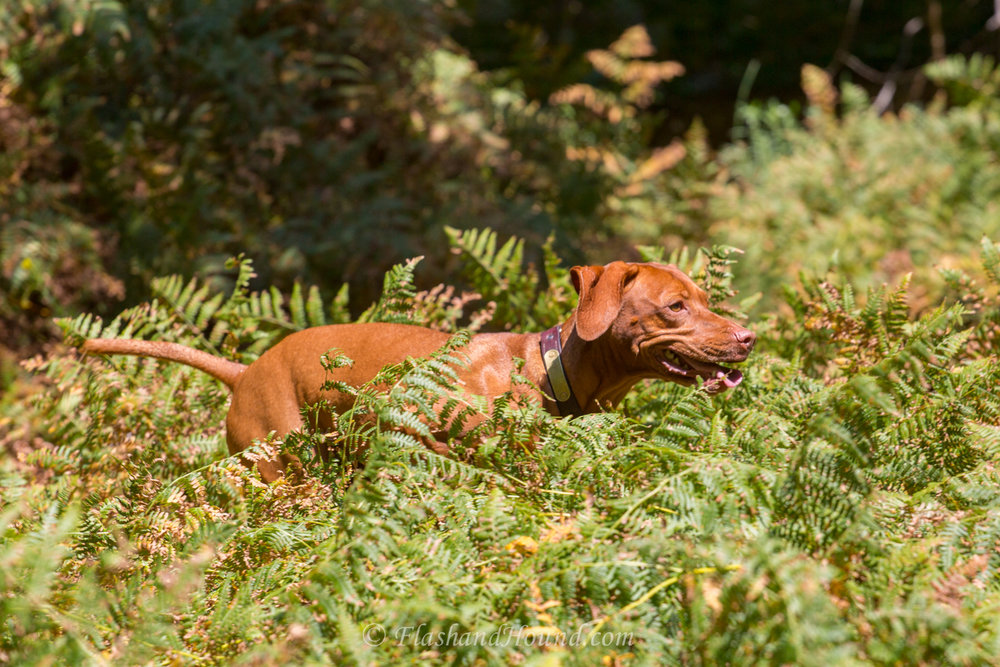 Outdoor pet photography - Vizsla running through a fern field (Scottsdale, AZ)