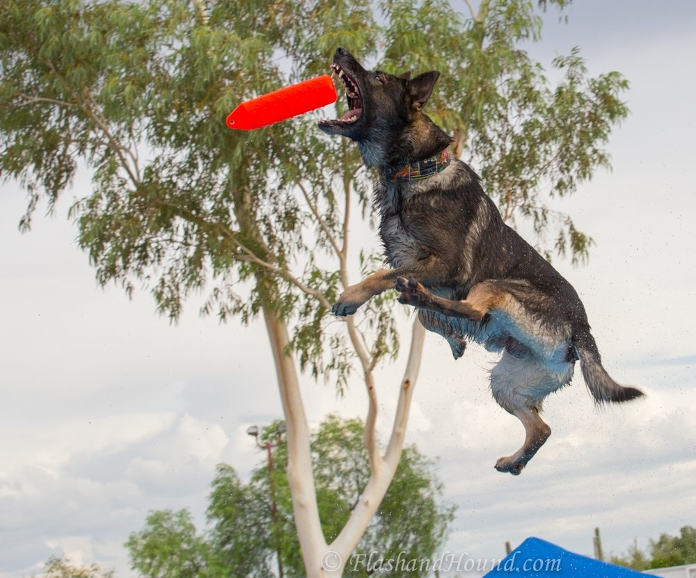 Dock diving German Shepherd catching red bumper