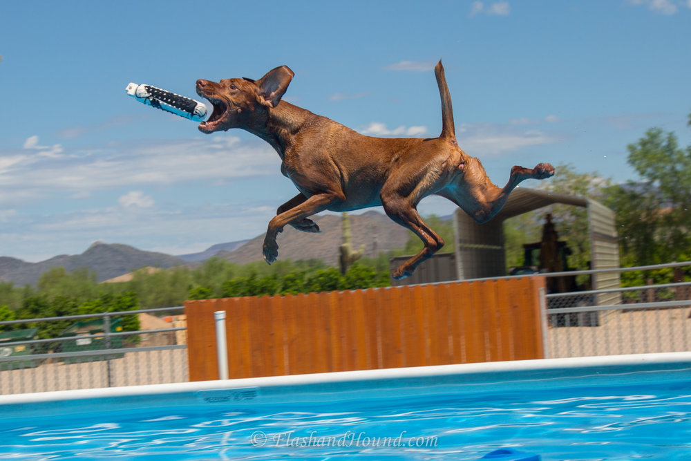 Outdoor action pet photography - Vizsla catching a bumper while dock diving (Scottsdale, AZ)