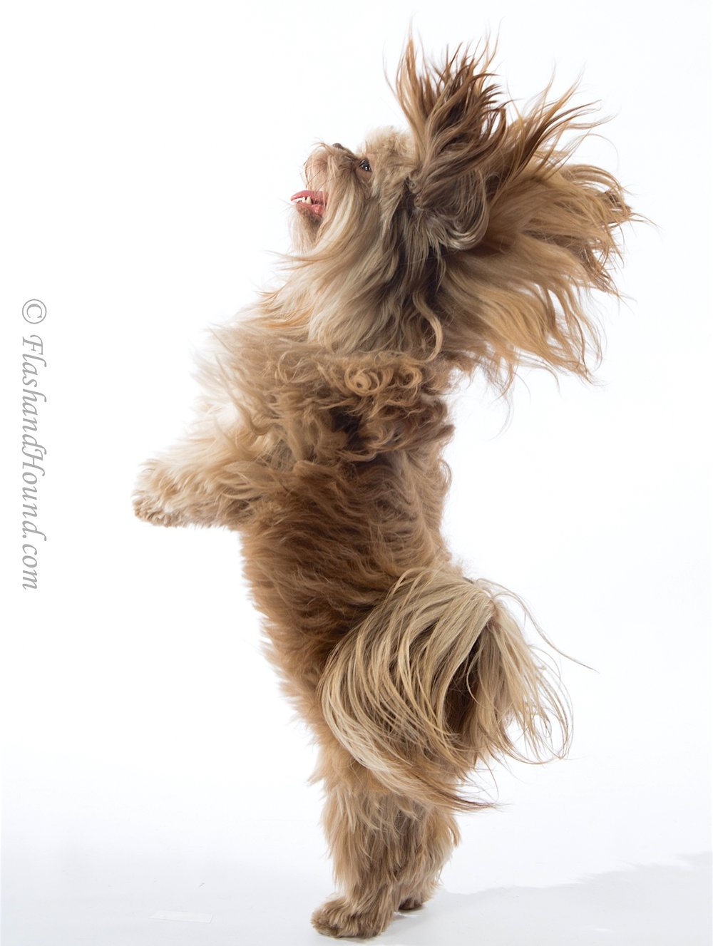 Shih Tzu posing on hind legs for a studio photoshoot