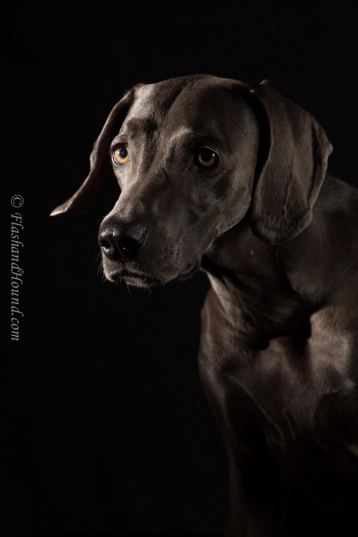 Weimaraner portrait - low light studio pet photography