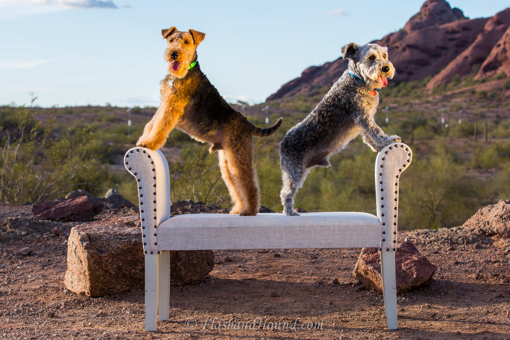 Two schnauzers posing on a couch in Papago Park, Phoenix AZ
