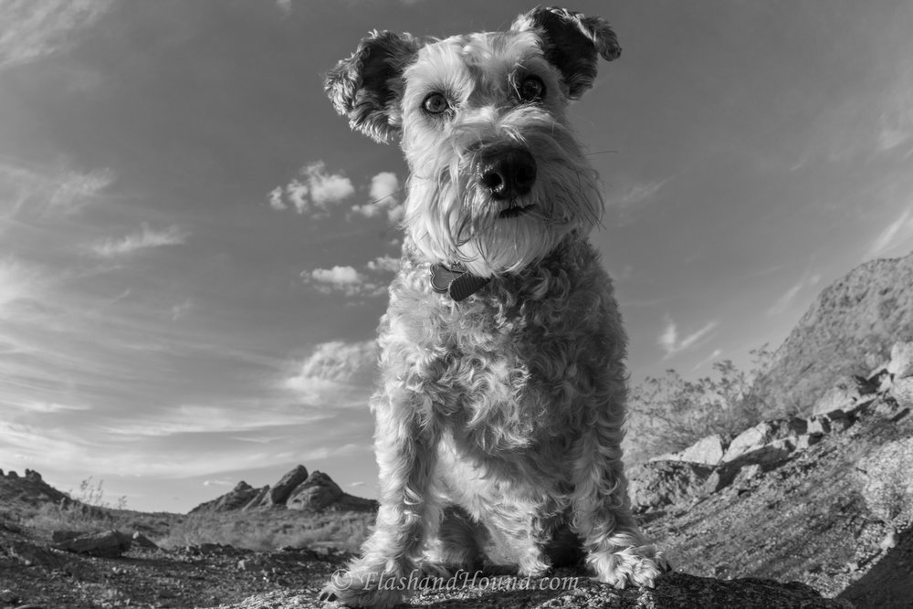 Schnauzer B&W wide angle lens photo - outdoor pet photography
