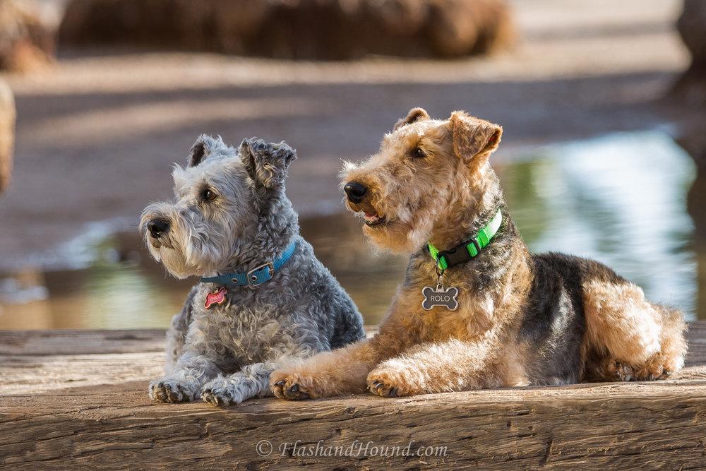 Flash and Hound two schnauzers on a bridge
