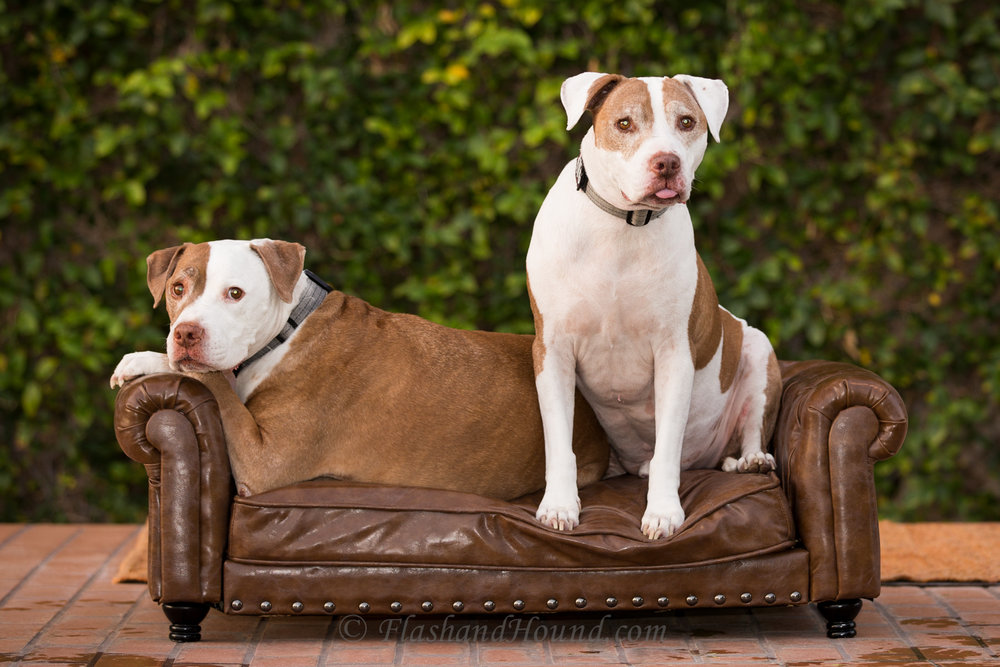 Flash and Hound two pitbulls posed on a couch