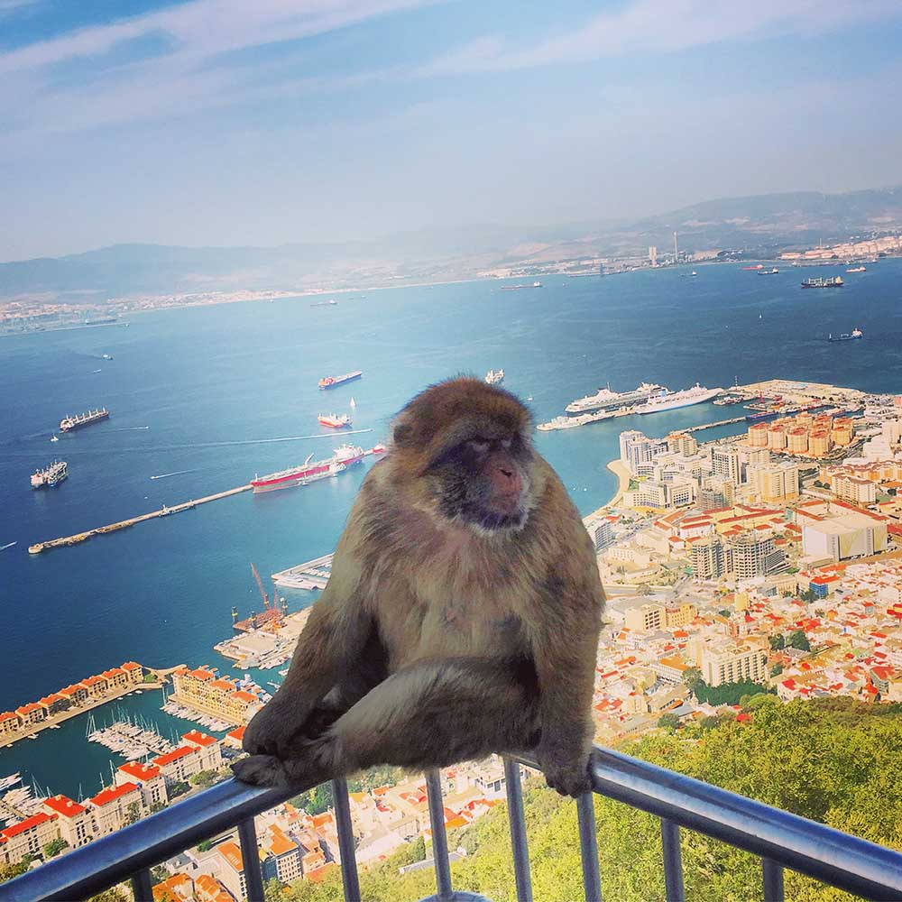 A very confident Barbary macaque, with the densely covered city of Gibraltar below.