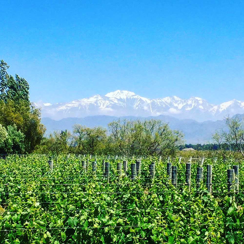 Everywhere you look in Mendoza, the Andes mountains provide a backdrop of beauty and wonder. Don't they look increbible here, behind the grape vines?