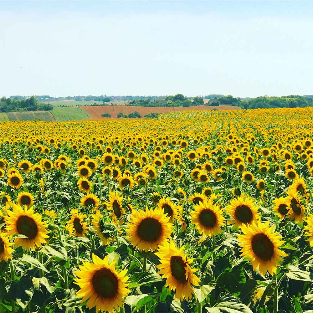 Sunflower fields around our property in the Summer.