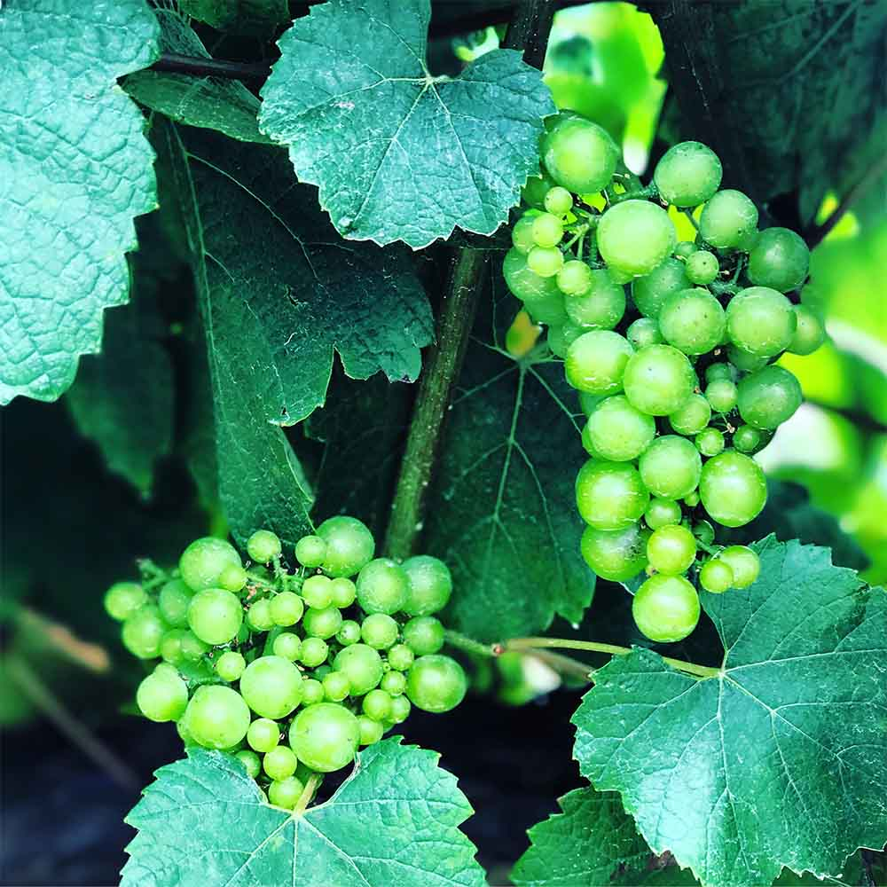 Grapes on the vine at Saint Clair Vineyard Kitchen.