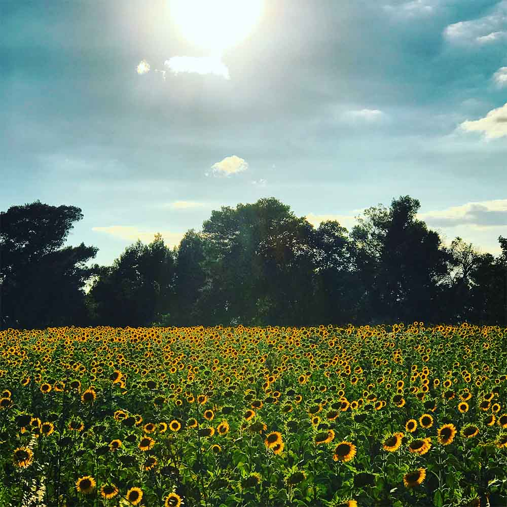 Sunflower farms in the summer.