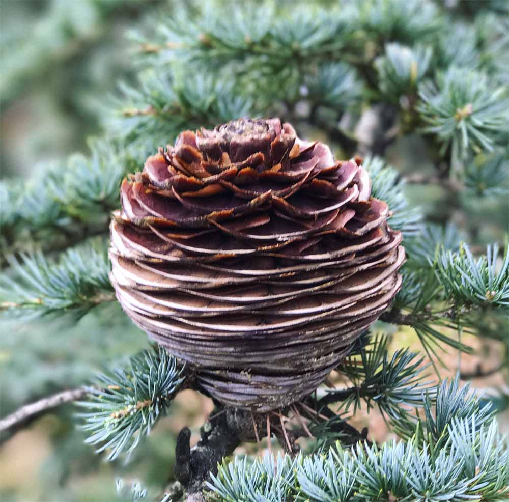 A pine cone from the tree in our garden.