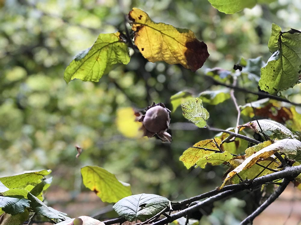 A close up of a late hazelnut that's yet to fall from the tree.