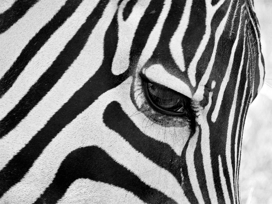 black-and-white-zebra-close-up-pierre-leclerc