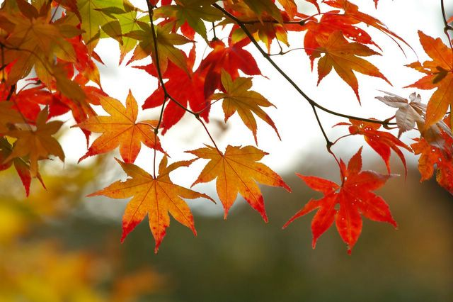 fall-leaves-tree