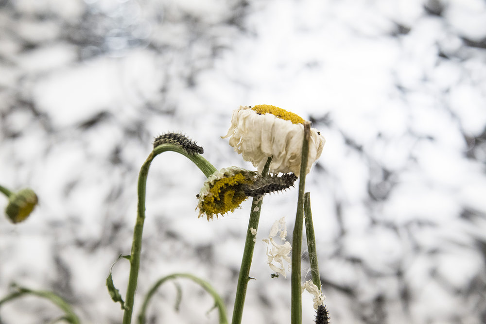 detail larvae on daisies play pen.jpg