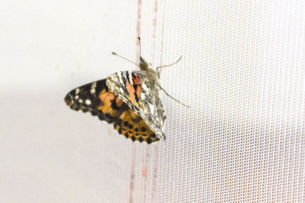 BUTTERFLY ON MECONIUM SCREEN small.jpg