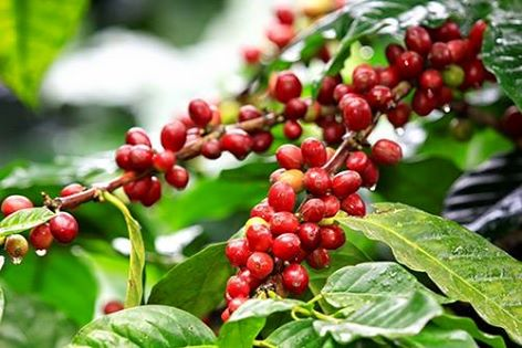 Coffee berries on a coffee bush