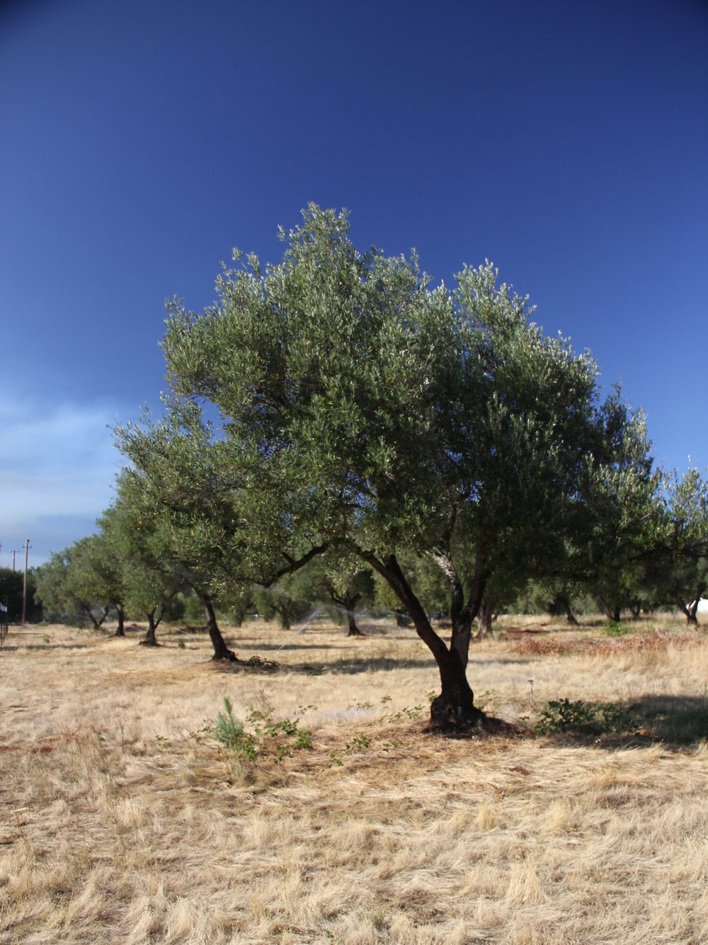 Our little five acres of the world was neglected for years by the time we found it. Olive trees, however, are (luckily!) incredibly resilient.