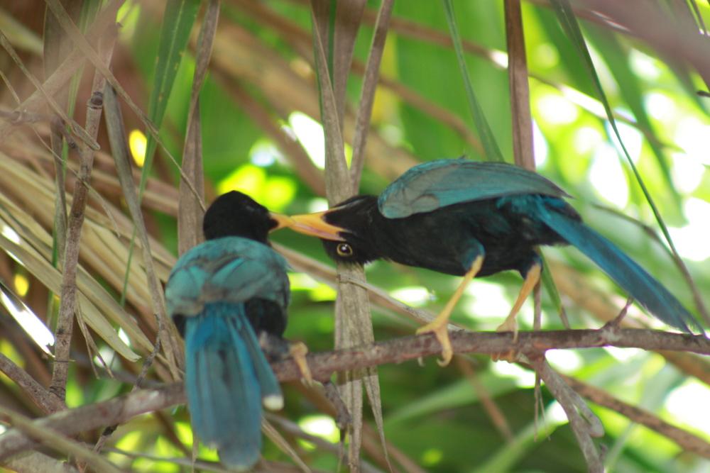 kissing birds
